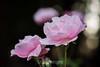 Rose - San Jose Municipal Rose Garden #0675
