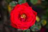 Rose - San Jose Municipal Rose Garden #0620