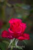 Rose - San Jose Municipal Rose Garden #0617