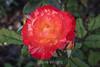 Rose - San Jose Municipal Rose Garden 4567