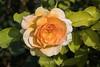 Rose - San Jose Municipal Rose Garden 4587