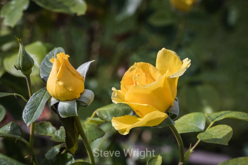 Rose - San Jose Municipal Rose Garden 4588