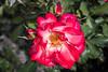 Rose - San Jose Municipal Rose Garden 4578