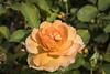 Rose - San Jose Municipal Rose Garden 4585