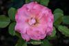 Rose - San Jose Municipal Rose Garden 4543