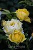 Rose - San Jose Municipal Rose Garden 4553