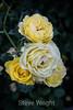Rose - San Jose Municipal Rose Garden 4541