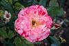 Rose - San Jose Municipal Rose Garden 4558