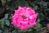 Rose - San Jose Municipal Rose Garden 4524