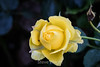 Rose - San Jose Municipal Rose Garden 4535