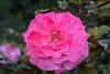 Rose - San Jose Municipal Rose Garden 4548