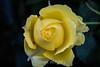 Rose - San Jose Municipal Rose Garden 4531