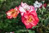 Rose - San Jose Municipal Rose Garden 4572