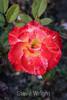 Rose - San Jose Municipal Rose Garden 4563