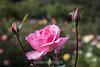 Rose - San Jose Municipal Rose Garden 4580