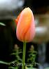 Tulip (55) D