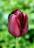 Tulip (92) D
