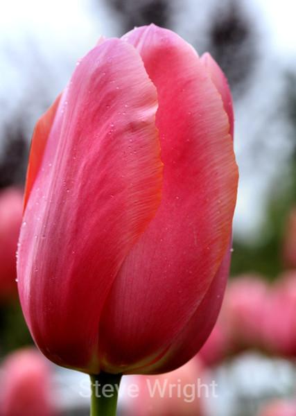 Tulip (80) D