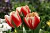 Tulip (13) D
