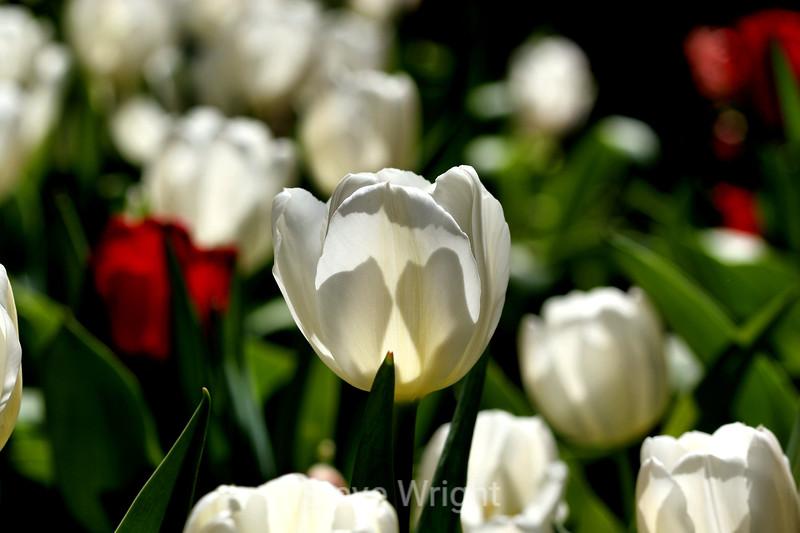 Tulip (34) D