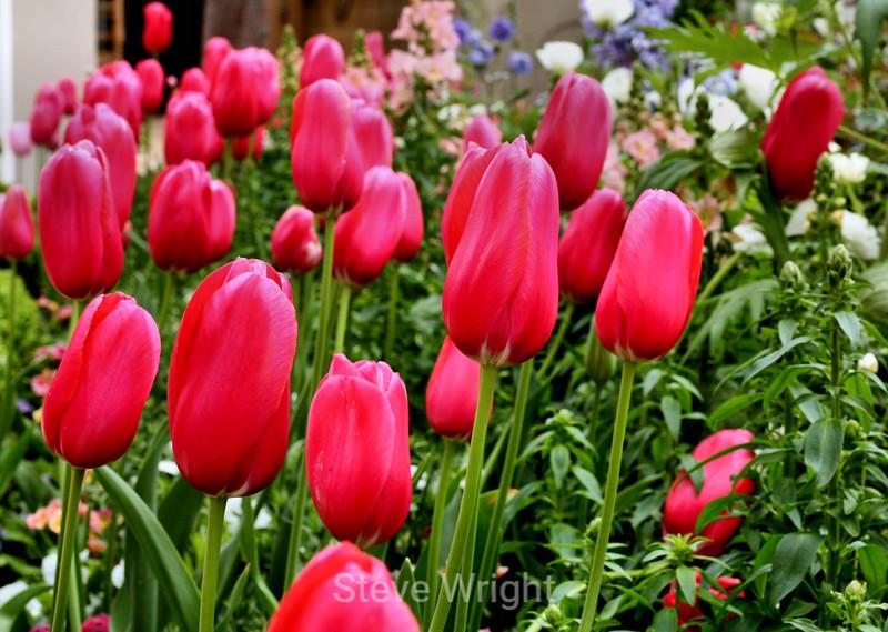 Tulip (109) D
