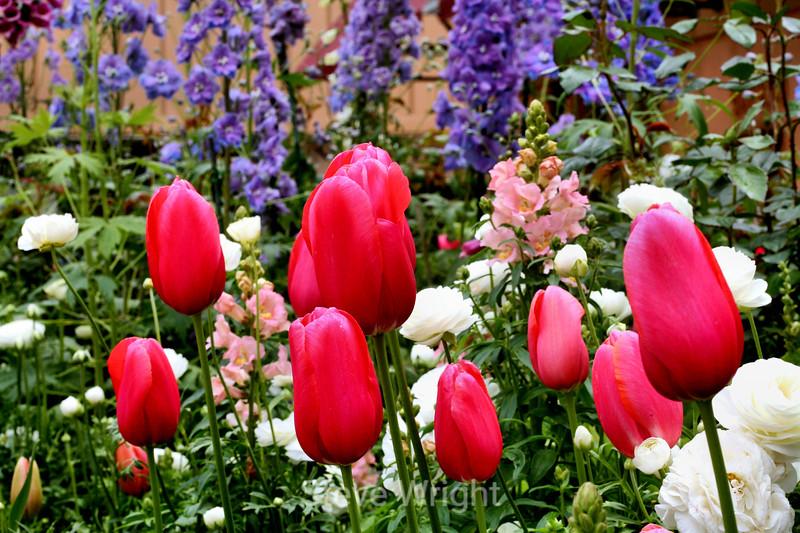 Tulip (112) D