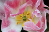 Tulip (114) D