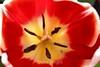 Tulip (2) D