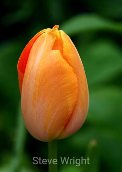 Tulip (58) D