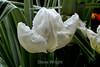 Tulip (127) D