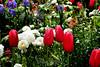 Tulip (98) D