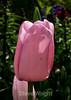 Tulip (96) D