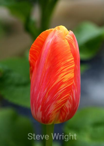 Tulip (54) D
