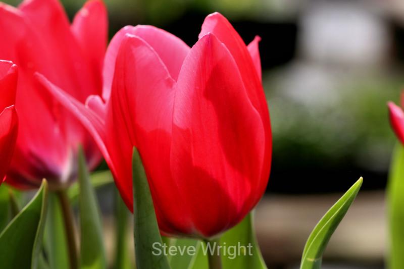 Tulip (17) D
