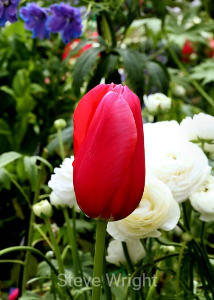 Tulip (97) D