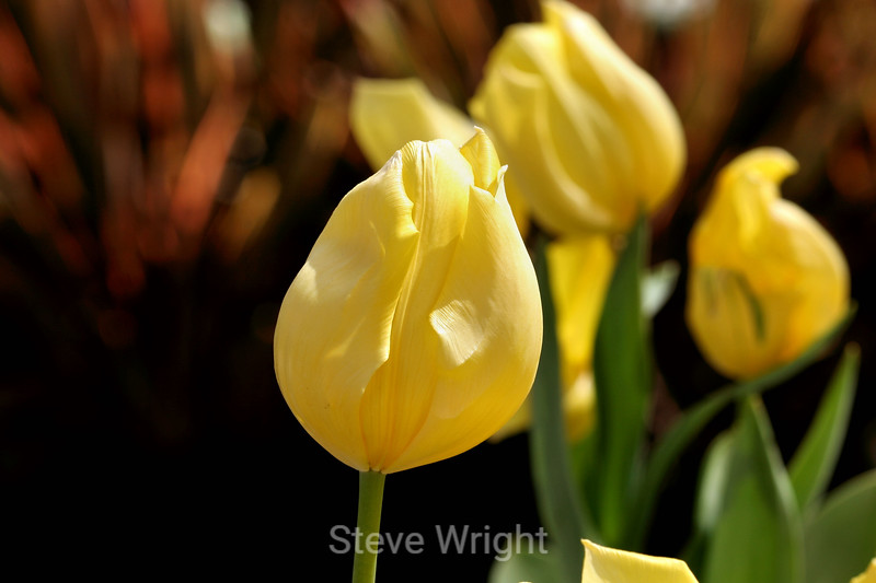 Tulip (45) D