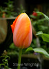 Tulip (51) D