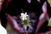 Tulip (90) D