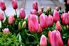 Tulip (83) D