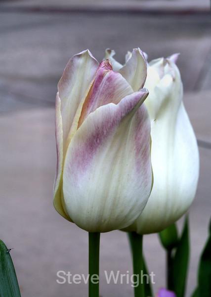 Tulip (49) D