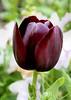 Tulip (132) D
