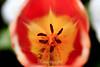 Tulip (64) D