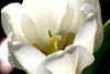 Tulip (37) D
