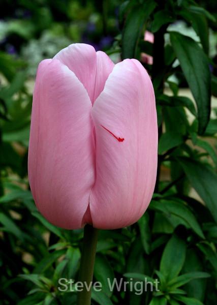 Tulip (93) D