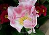 Tulip (115) D