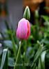 Tulip (56) D