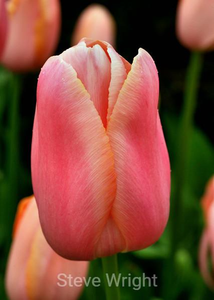 Tulip (84) D