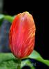 Tulip (52) D