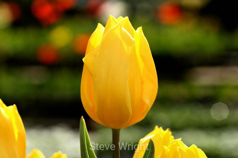 Tulip (27) D