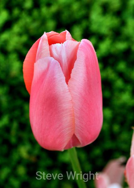 Tulip (75) D